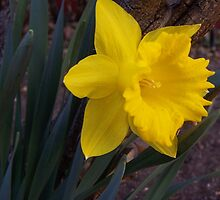 First Daffodil by Claudia Goodell