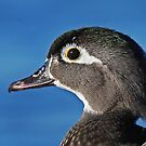 The beauty of the female wood duck by Jim Cumming