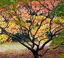 The Acer Glade - Westonbirt Arboretum by vivsworld