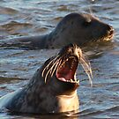 laughing seal by beavo