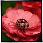 """"""" Ranunculus """" by Malcolm Heberle"""