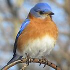 Blue Bird by carolinagirl10