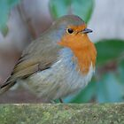 Robin by unclebuck