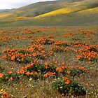 California Poppy's by Chris Perry
