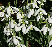 Snowdrops in Spring by MendipBlue