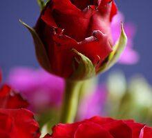 Rose by Matt Stringer