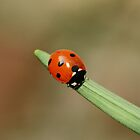 Ladybird on a Stem by MendipBlue