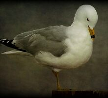 Elegance (Ring-billed Gull) by Robert Miesner