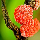 berries of future snails   by lensbaby