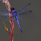Blue Dragonfly by Tony Wilder