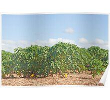 plantation of papaya fruit (carica),Mauritius  Poster