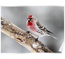 Vibrant Male / Common Redpoll Poster