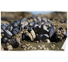 barnacles mussels and snails  Poster