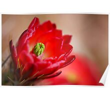 Red Cactus Bloom Poster