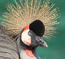 Grey Crowned Crane by DutchLumix