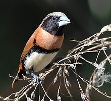 Chestnut-Breasted Mannikin - Ivanhoe Crossing - Kununurra by Alwyn Simple