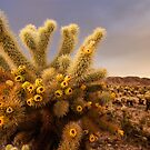 Cholla Cactus field at sunset by Flux Photography