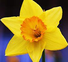 Daffodil by Liza Barlow