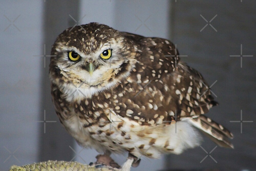 Burrowing Owl by Alyce Taylor