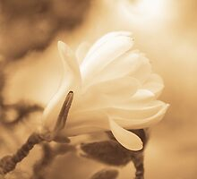 magnolia... by Allan  Erickson