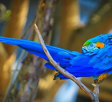 Blue-Throated Macaw - Ara glaucogularis by Edvin  Milkunic