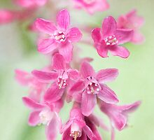 Ribes by Mandy Disher