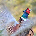 Pheasant by Steve