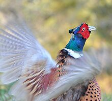 Pheasant by Stephen Frost