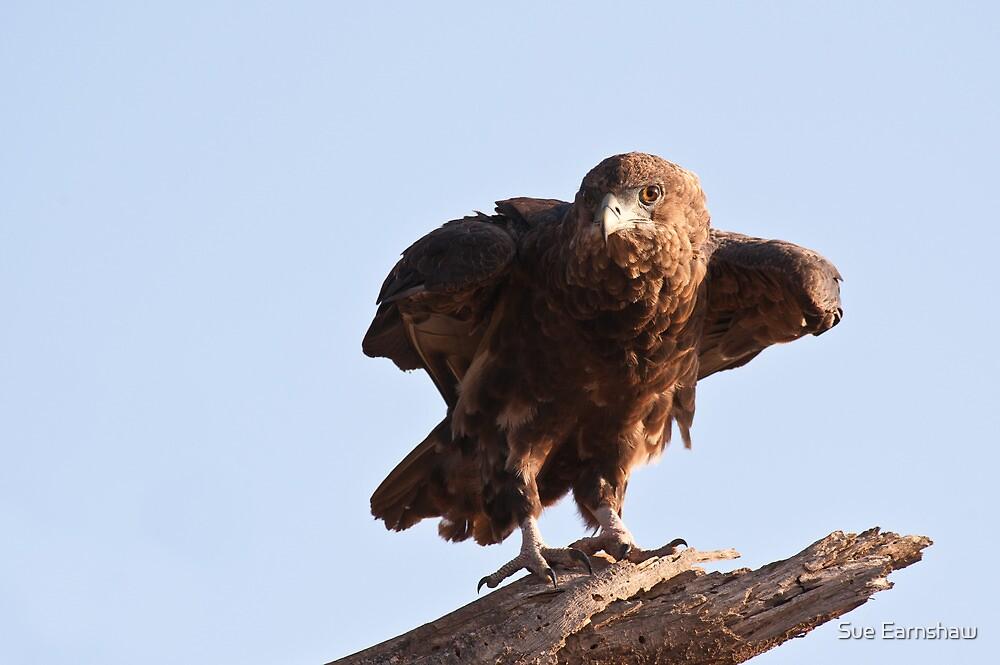 Juvenile Bateleur Eagle - Samburu National Reserve Kenya by Sue Earnshaw