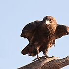Juvenile Bateleur Eagle - Samburu National Reserve Kenya by Sue Earnshaw