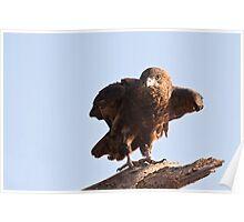 Juvenile Bateleur Eagle - Samburu National Reserve Kenya Poster