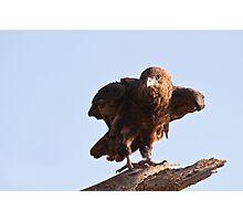 Juvenile Bateleur Eagle - Samburu National Reserve Kenya Photographic Print