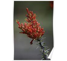 Ocotillo Flower Poster