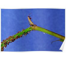 Rose Aphids Poster