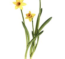 Daffodil - botanical study. by Anthony Thomas