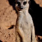 Meerkat by INTERACTION