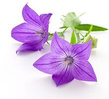 bellflowers by yumehana