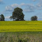 Canola Field, Scugog Island by Tracy Faught