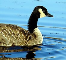 Golden Ripples:  A Canadian Goose! by PatChristensen