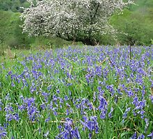 Crab apple tree and bluebells by Jane Corey
