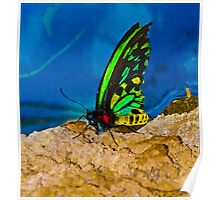 Beautiful Black and Green Butterfly Poster