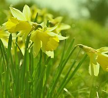 Wild Daffodils  by jonshort58