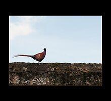 The Pheasant by Gail  Galbraith