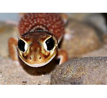 Nephrurus levis levis - Smooth Knob-tailed Gecko Photographic Print