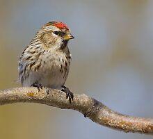 Common Redpoll Female  by Wayne Wood