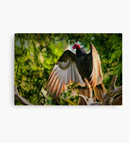 Vulture in the sun Canvas Print