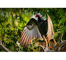 Vulture in the sun Photographic Print