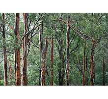 Gum Trees In The Rain Photographic Print