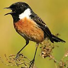 A very sharp crisp image of a Stone Chat by cameravan1