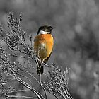 A Stone Chat - colour or black and white by cameravan1